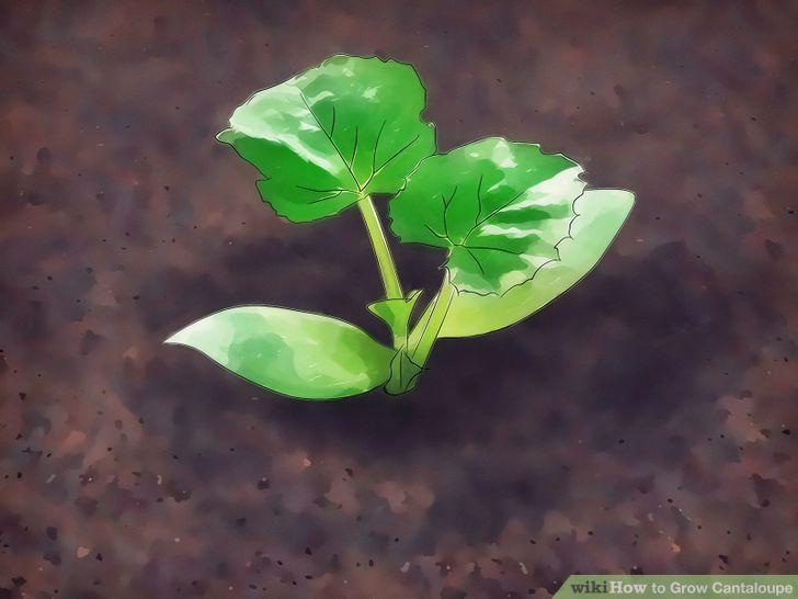 Grow Cantaloupe Step 6 Version 2.jpg