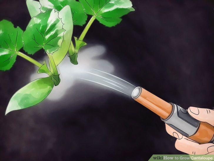 Grow Cantaloupe Step 7 Version 2.jpg