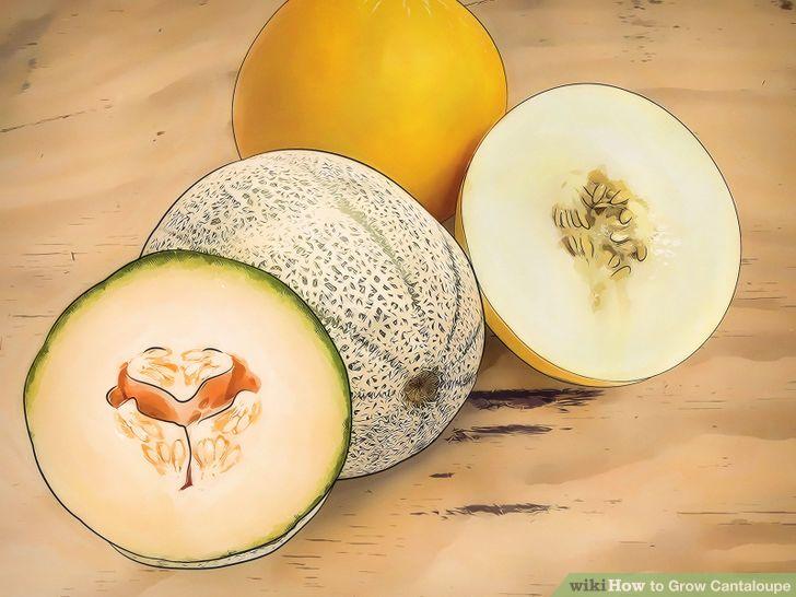 Grow Cantaloupe Step 1 Version 2.jpg