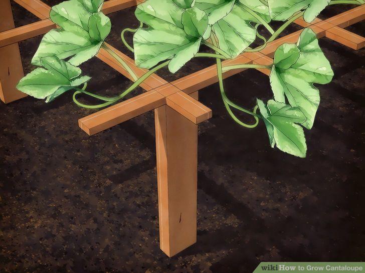 Grow Cantaloupe Step 10 Version 2.jpg