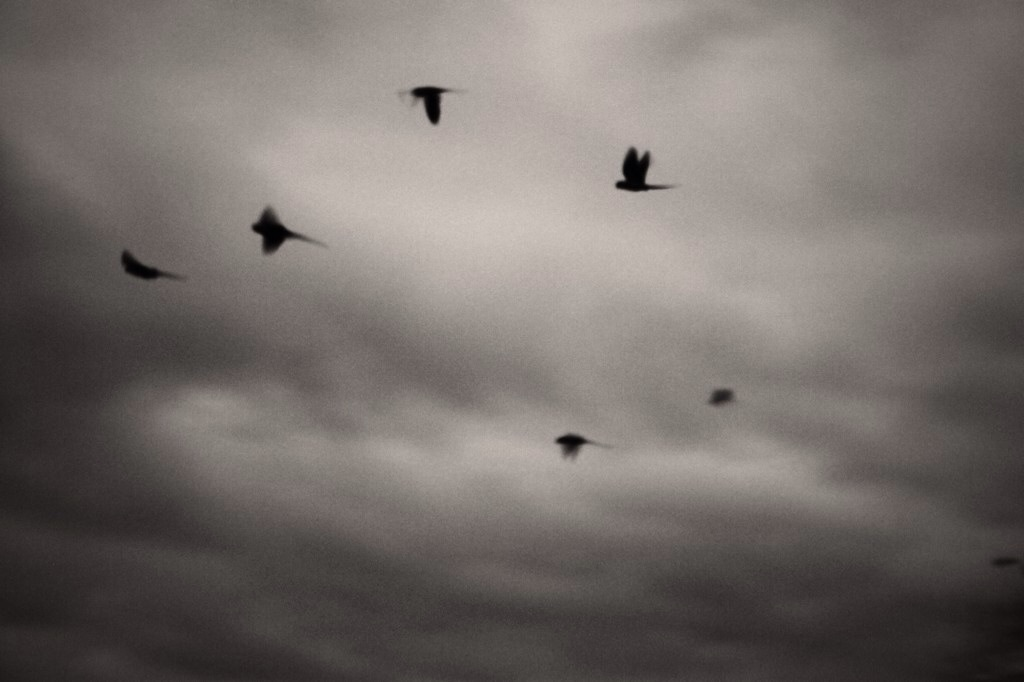 Parakeets flying on to roost 2