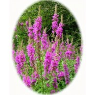Purple loosestrife plant