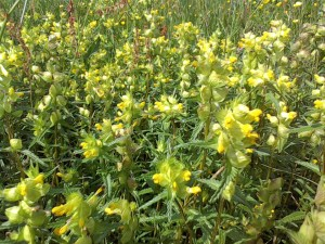Yellow Rattle Wild flowers