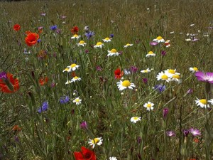 How to grow cornfield annuals