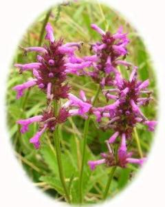 Bettony Wild flower Plants