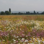 How to plant a Wildflower meadow