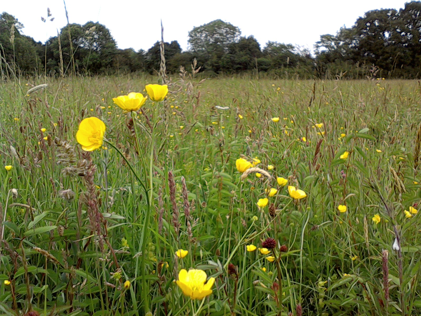 grass seed with wildflowers