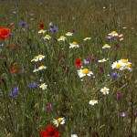 Wildflower combinations