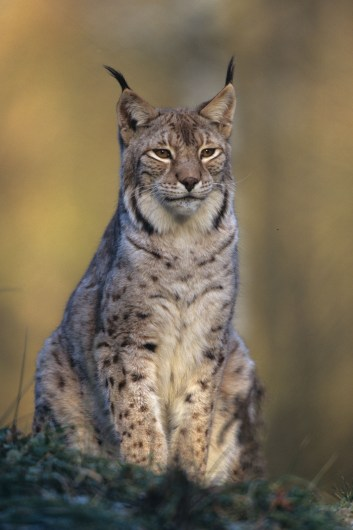 Luchs ©H. Glader/Piclease