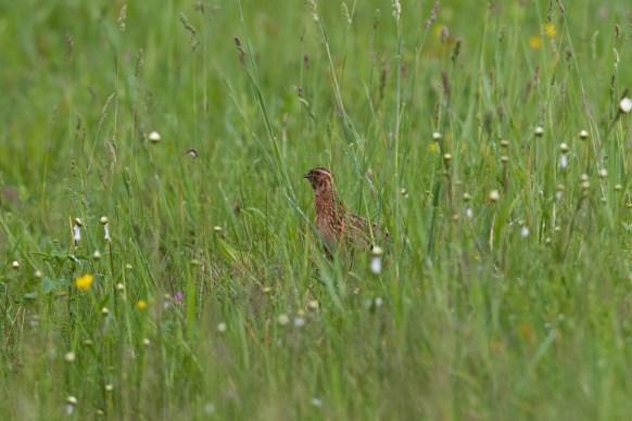 Wachtel im Gras © S. Ott/Piclease