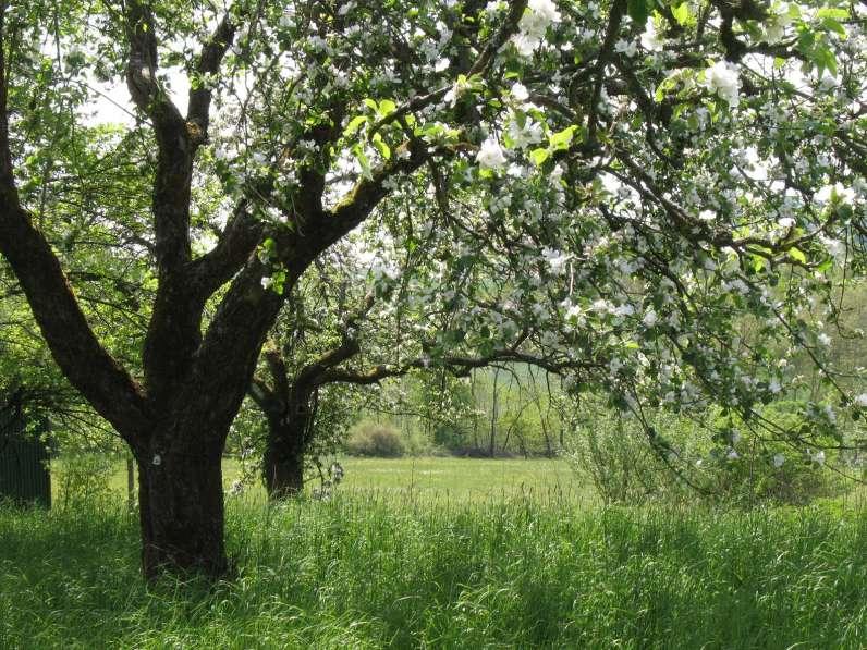 Obstbaumblüte©G. Schmidt