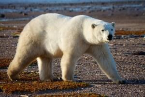 Polar Bear Nanuk Lodge 2013 7