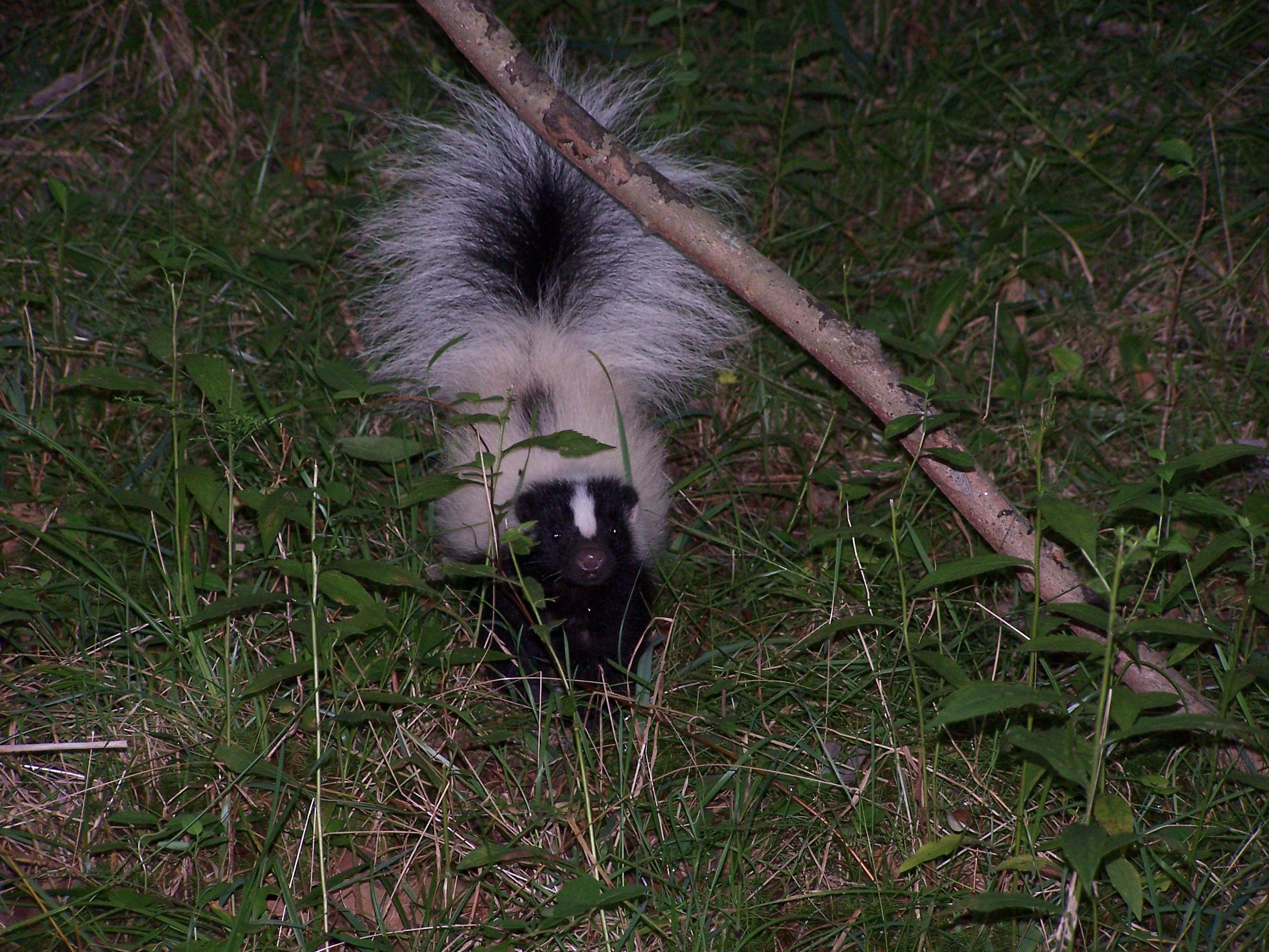Fullsize Of Can Skunks Climb