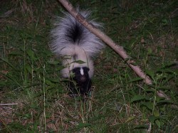 Small Of Can Skunks Climb