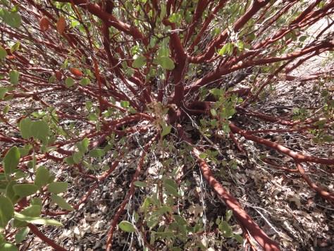 Manzanita shrub example