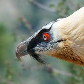 gieren Spanje, vogelreizen Spanje, lammergier Spanje