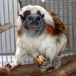 The Cotton Top Tamarin (Saguinus Oedipus) is one of the most endangered species of primate in the world found in the Amazons of Colombia and close by areas. The Cotton Top Tamarin is an important species to protect as they play an important role in the rainforest as seed dispersers as they can ingest seeds larger than those consumed by other species.