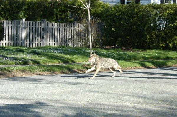 Belmont coyote