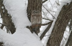 The Barred Owl blends right in, how exciting!