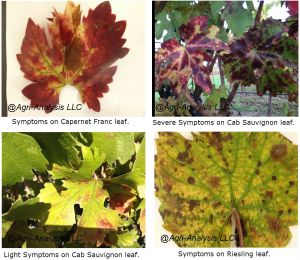 Symptoms of Red Blotch. Click image for full size view.