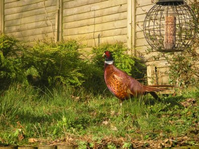 Pheasant at Winsbere