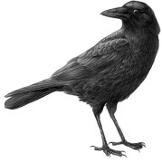 Crow cropped