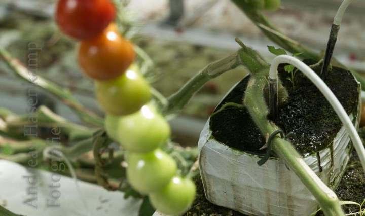 Aus Steinmehl wächst der Stengel der Tomaten, die dank viel Sonne schnell ihre Farbe verändern.