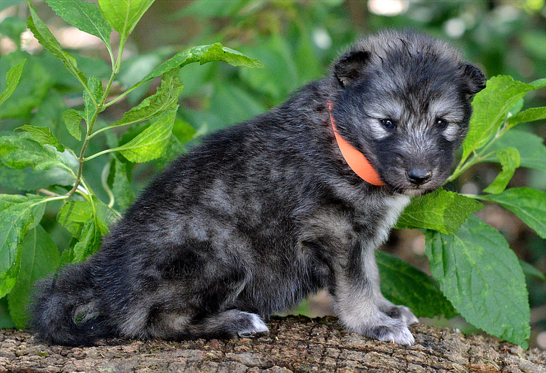 Fullsize Of Wolf Hybrid Puppies