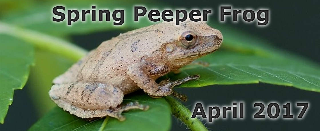 Spring Peeper Frogs 2017