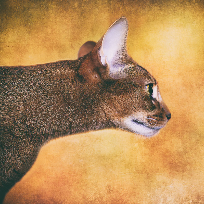 Abyssinian cat with outstretched neck