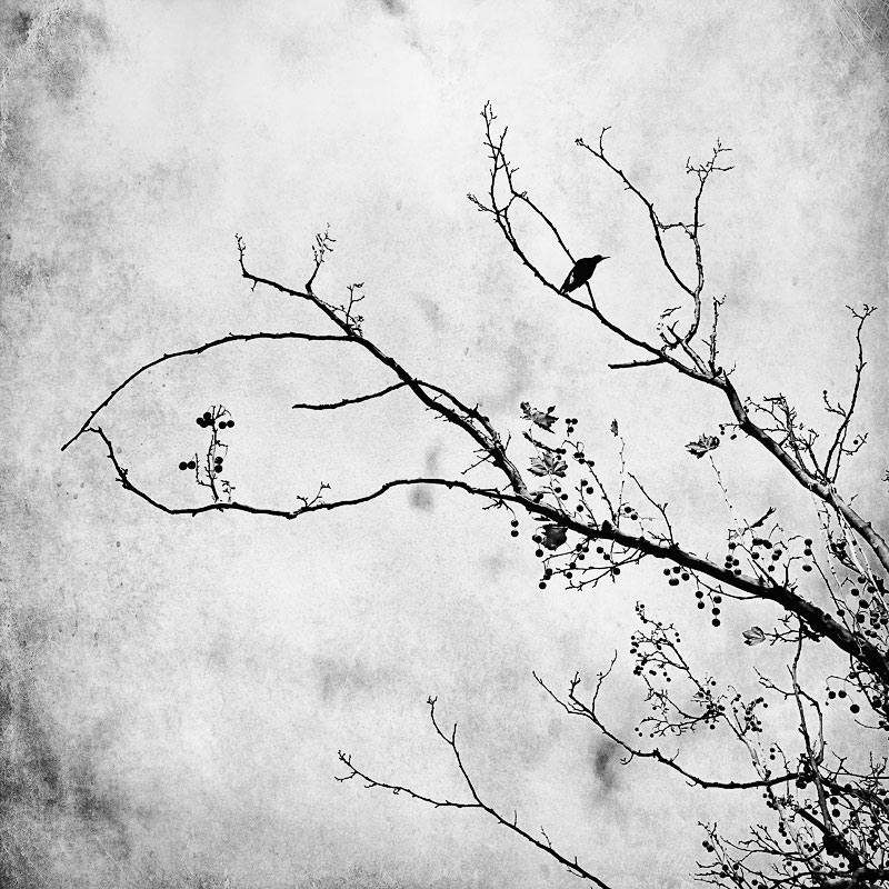 Magpie-in-winter-branches-against-the-sky