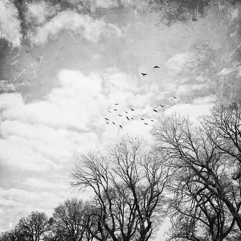 Murder-of-crows-against-trees-and-sky
