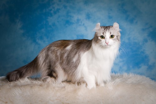 Top 10 Most Bizarre Cat Breeds