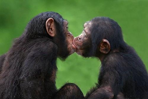 Chimpanzees kiss each other