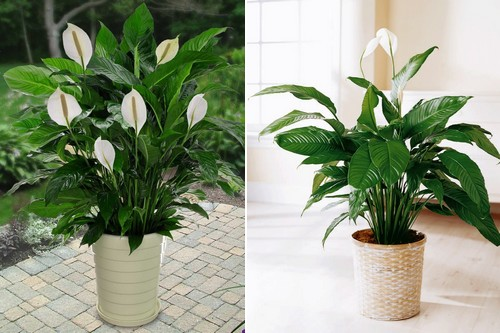 10 popular indoor houseplants that purify air - Popular indoor plants ...