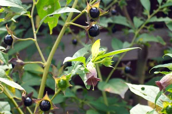 Most Poisonous Plants