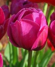 abigail-tulip