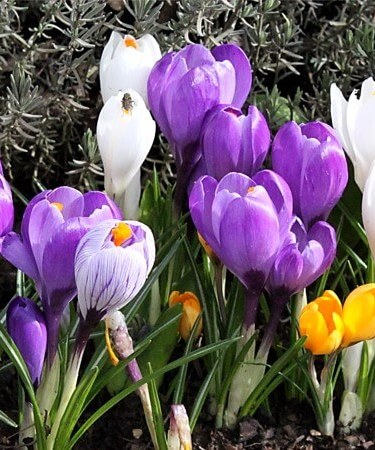 crocus mix_1