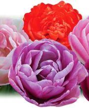 double_tulip_1