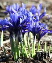 iris harmony_2