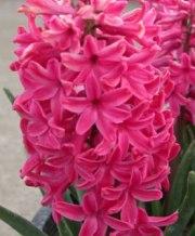 jan-bos_hyacinth