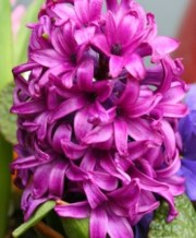 woodstock_hyacinth