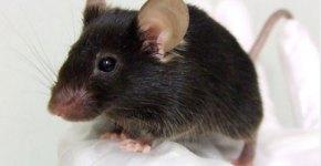 raton que canta