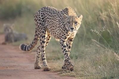 Where Do Cheetahs Live? - WorldAtlas.com
