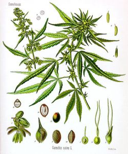 """Cannabis sativa Koehler drawing"" por W. Müller"