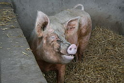 Pig_animal Middle_Farm,_Sussex