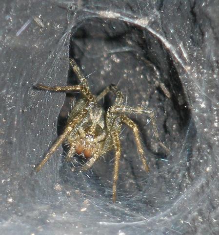 Tunnel Spider 1