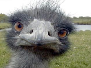 An Ostrich Progressive