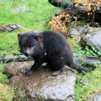 Australia: Tasmanian Devils up close