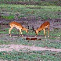 Botswana: Safaris in Chobe National Park